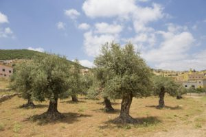 Olive oil is mentioned in the wholly books of islam, jewish and Christian