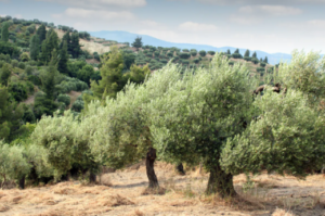 Does Olive Oil Prevent Or Even Cure Thyroid Disorders And Symptoms?