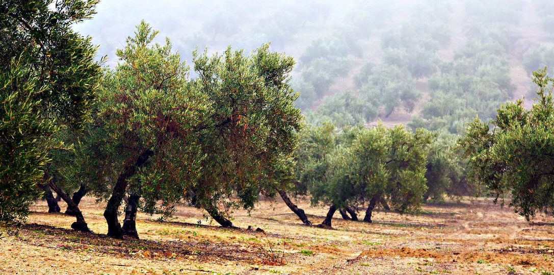 What Is Olive Oil Benefits - You'll Be Very surprised With These Benefits